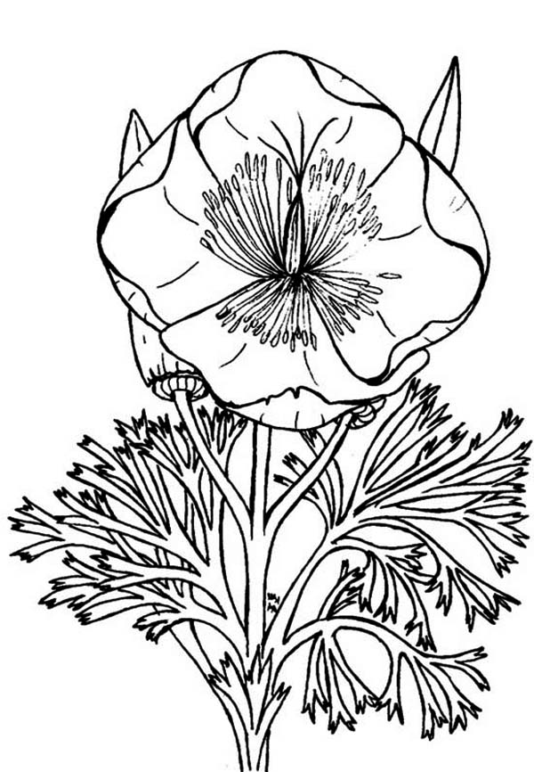 Drawn poppy california state Eschscholzia Page Poppy Page Coloring