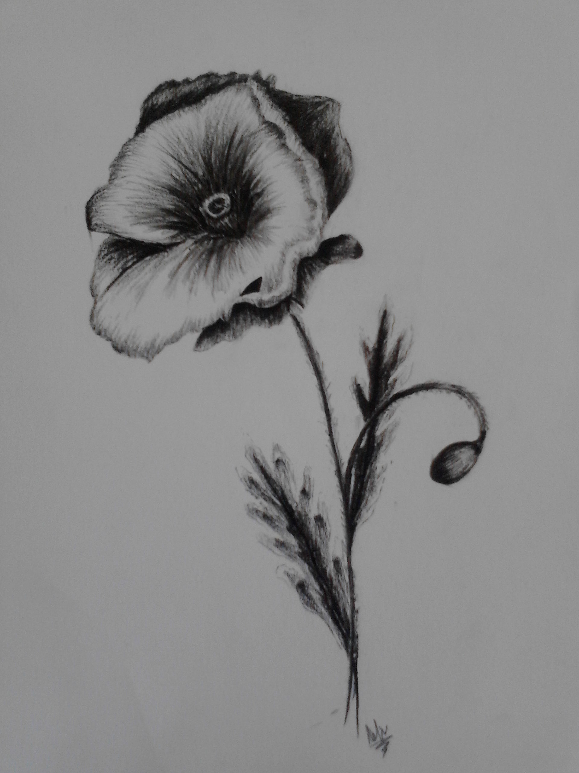 Drawn poppy charcoal Drawing With 2017 Charcoal With