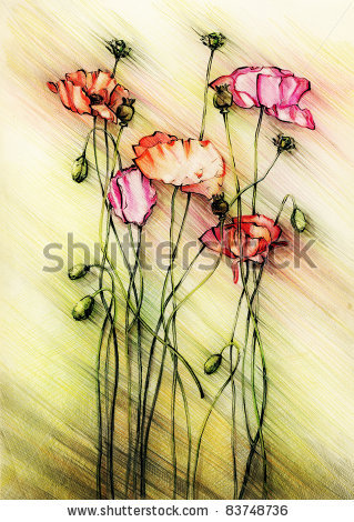 Drawn poppy colored pencil Indian Pencil Stock Pictify social