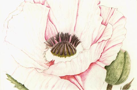 Drawn poppy colored pencil Stem in leaves a the