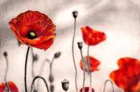 Drawn poppy colored pencil And For Stunning Poppies Pencil