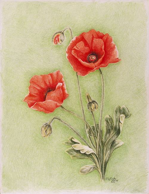 Drawn poppy colored pencil Stunning Colored Drawings Illustrations mon
