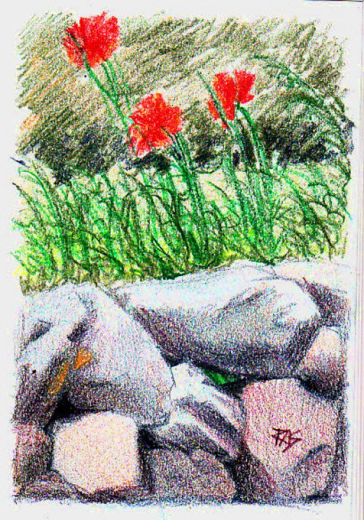Drawn poppy colored pencil With AquaTone watercolor on dry