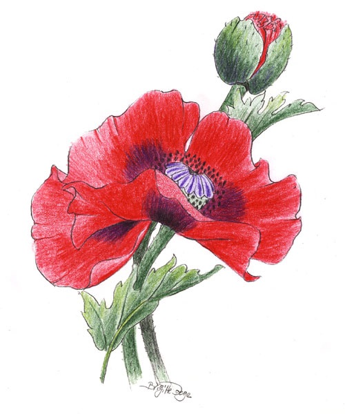 Drawn poppy colored pencil (advanced): poppy poppy red Drawing