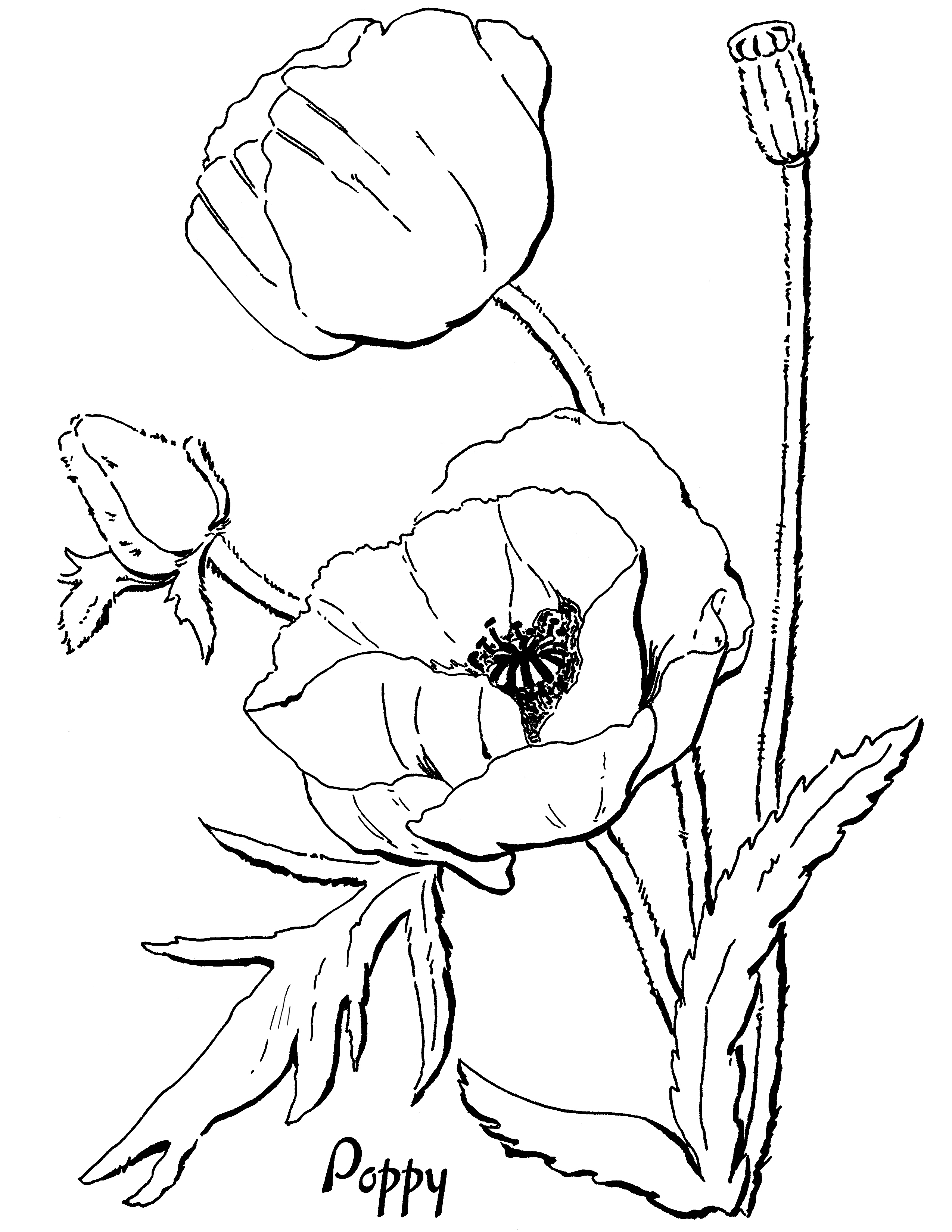 Drawn poppy coloring Adults! Fairy Page Page Graphics