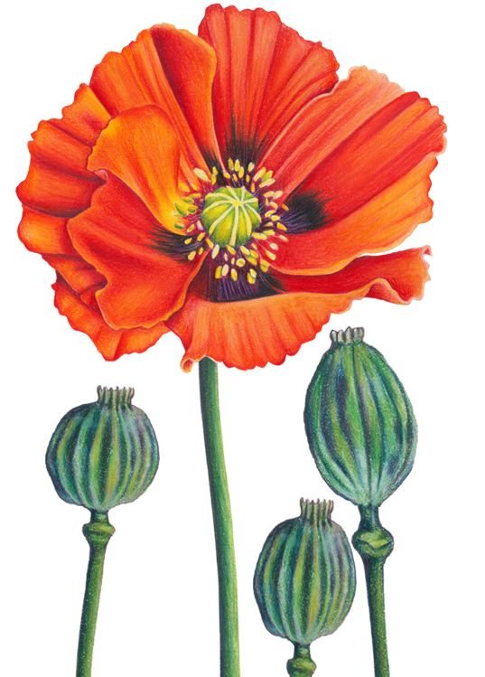 Drawn poppy colourful By pencil Pinterest 57 about