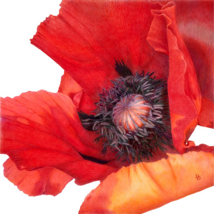 Drawn poppy colourful Flowers 17 on : Colour