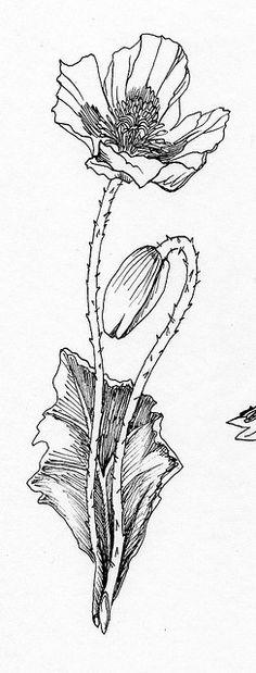 Drawn poppy detailed California example Great Drawing Poppy
