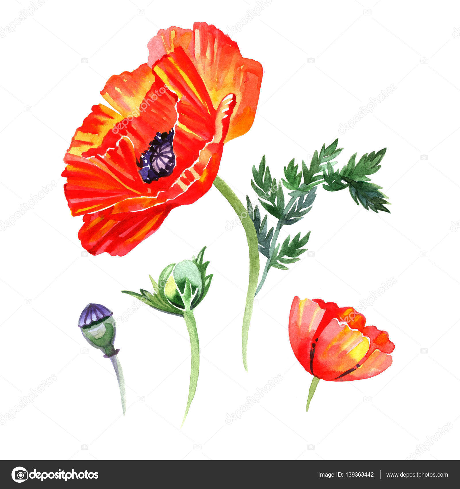 Drawn poppy detailed Buds and Hand of detailed
