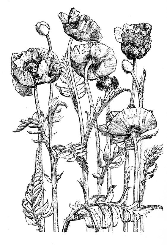 Drawn poppy different flower White poppy black Sketches drawing