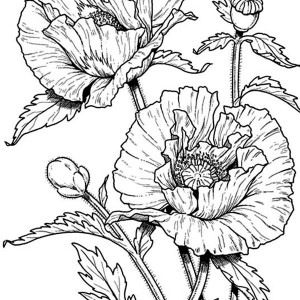 Drawn poppy easy California Drawing Coloring Pages Coloring