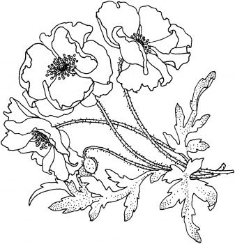 Drawn poppy flamboyant flower Pin more on 58 Poppies