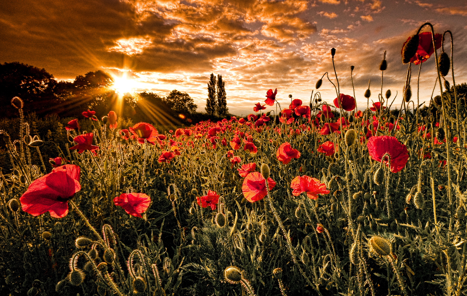 Drawn poppy flanders field Wallpaper Poppy Collection Flowers Nature