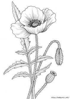 Drawn poppy flower leaf (495x700 poppy  prints botanical
