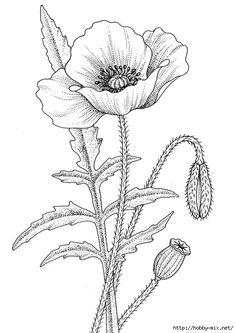 Drawn poppy flower leaf  floral illustrations flower 11203