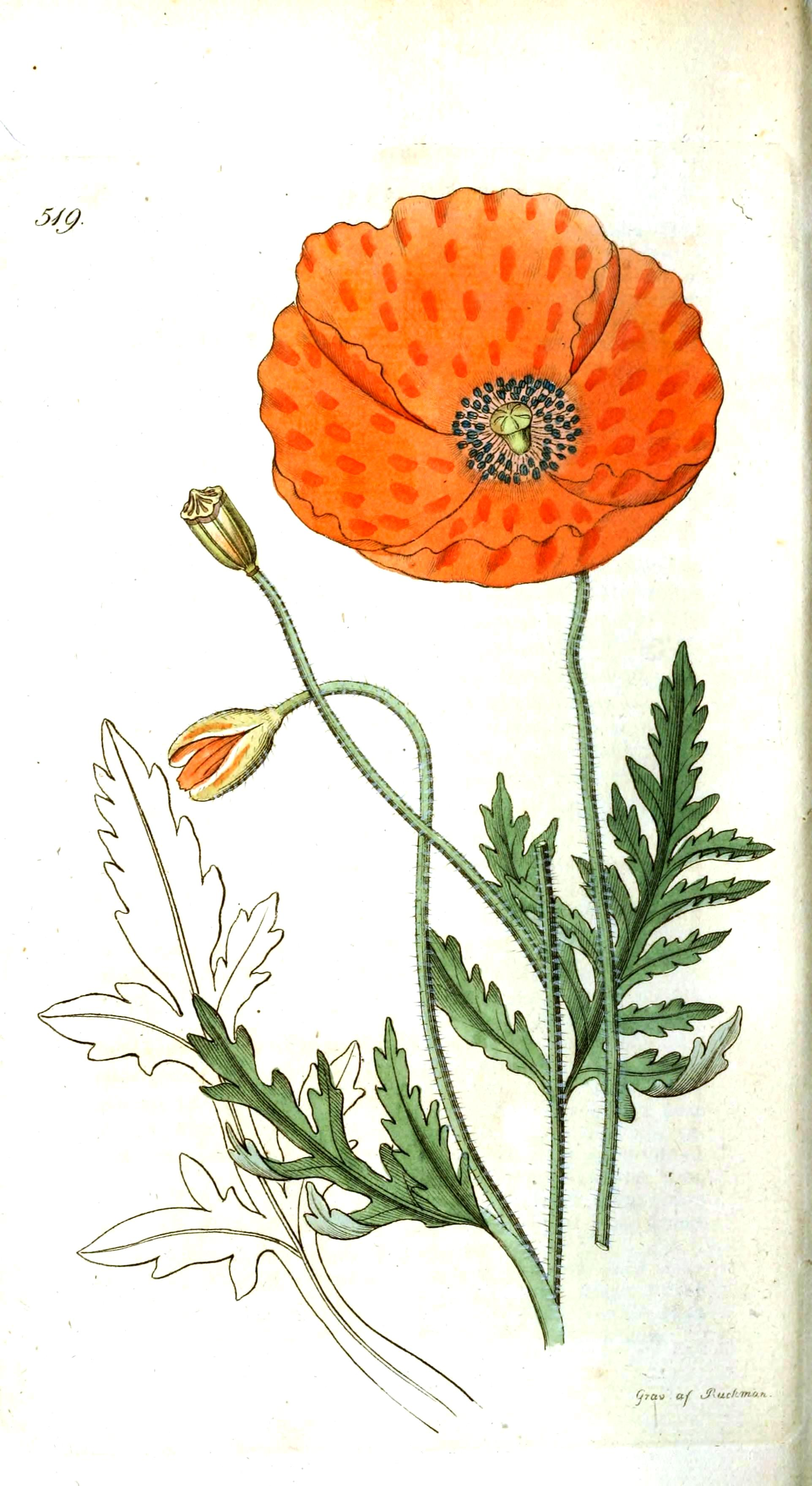 Drawn poppy flower leaf Icelandic Botanical  poppy Icelandic