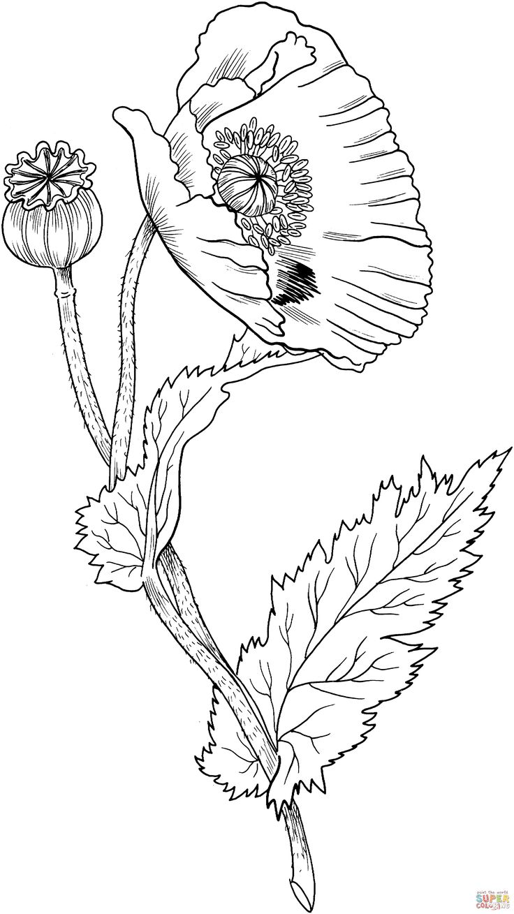 Drawn poppy flower leaf Super Opium about images on