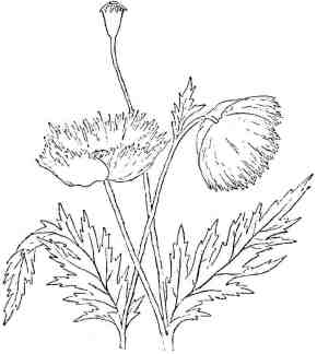 Drawn poppy flower leaf Victorian poppy art leaves poppy