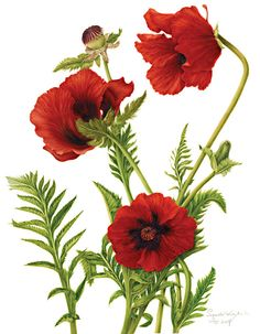 Drawn poppy flower leaf By  Papaver TECKNADE /