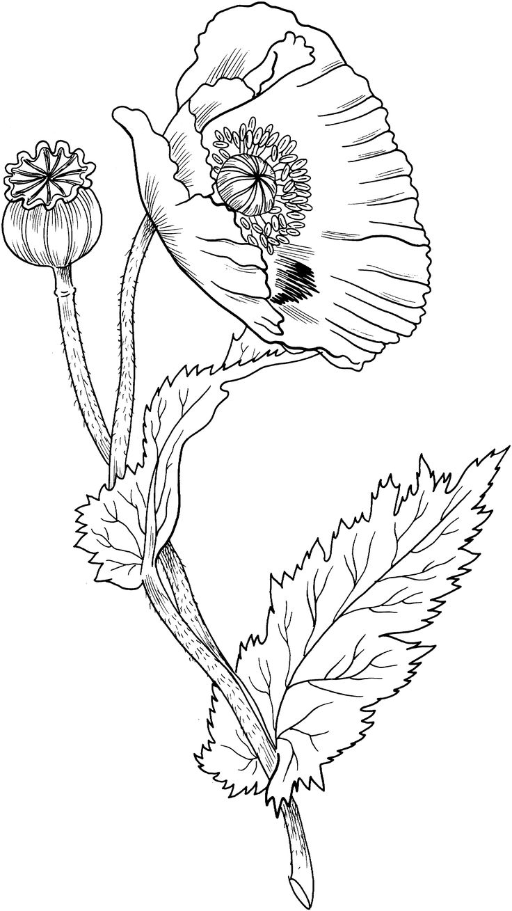 Drawn poppy flower leaves On about (Flowers/Leaves) and images