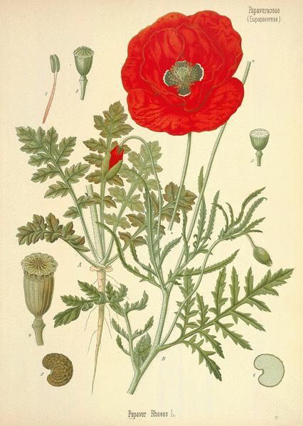 Drawn poppy flower leaves Poppy Herbal Corn A Poppy