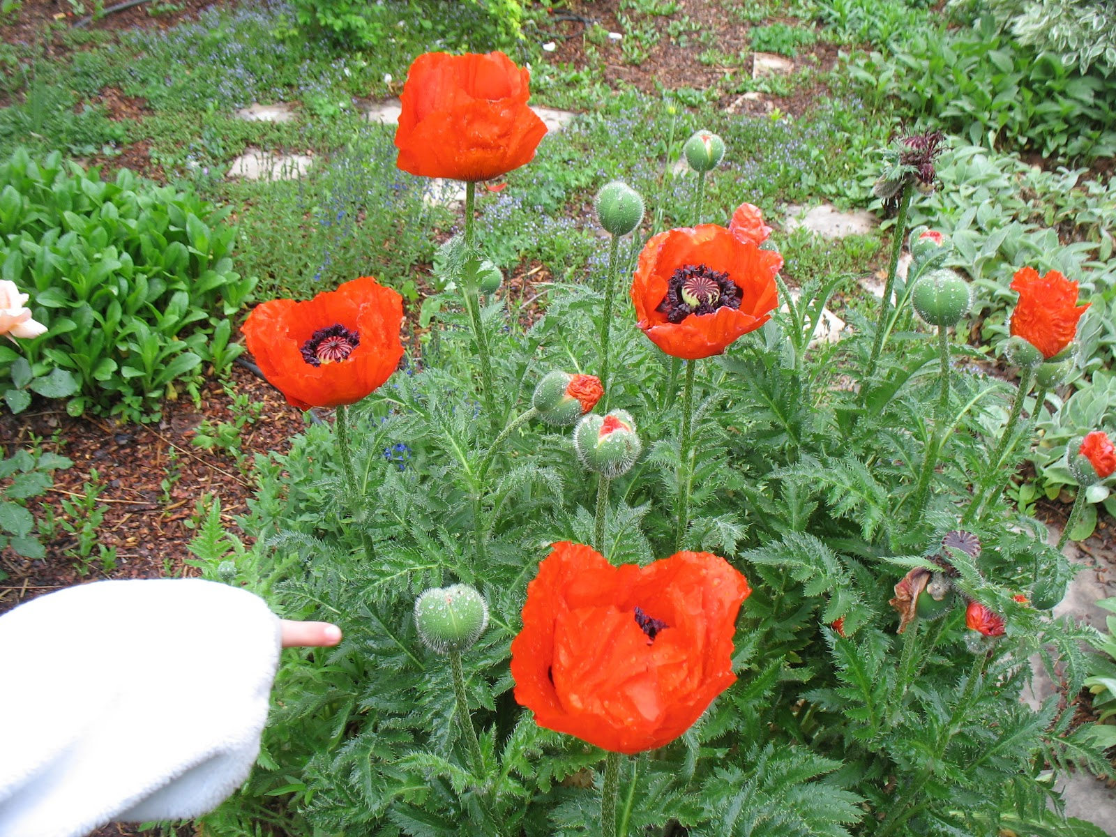 Drawn poppy flower leaves Watercolor Painting buds but some