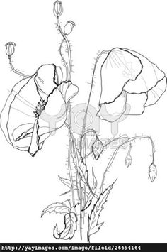 Drawn poppy glass A & Search How Magnolia