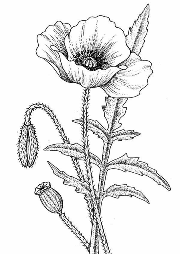 Drawn poppy glass Color Flower Coloring Page Best