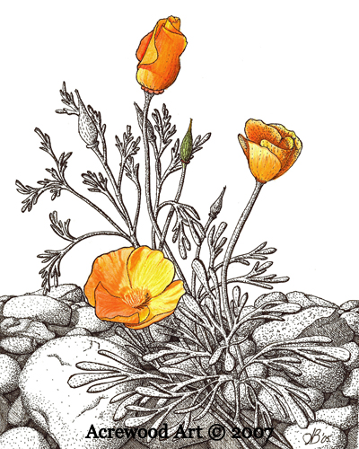 Drawn poppy golden poppy Poppy Art California Acrewood