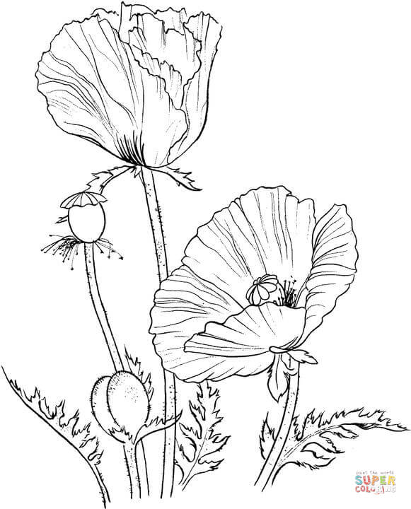 Drawn poppy golden poppy Coloring California Poppy Free page