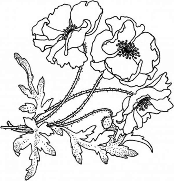Drawn poppy golden poppy Golden Page: Poppy Blooming Coloring