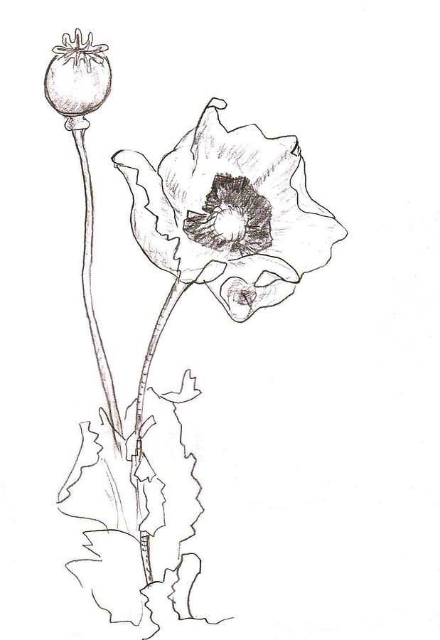 Drawn poppy line drawing Line best poppies 222 on
