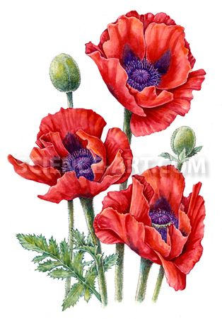Drawn poppy oriental poppy Images Poppy watercolor Oriental best