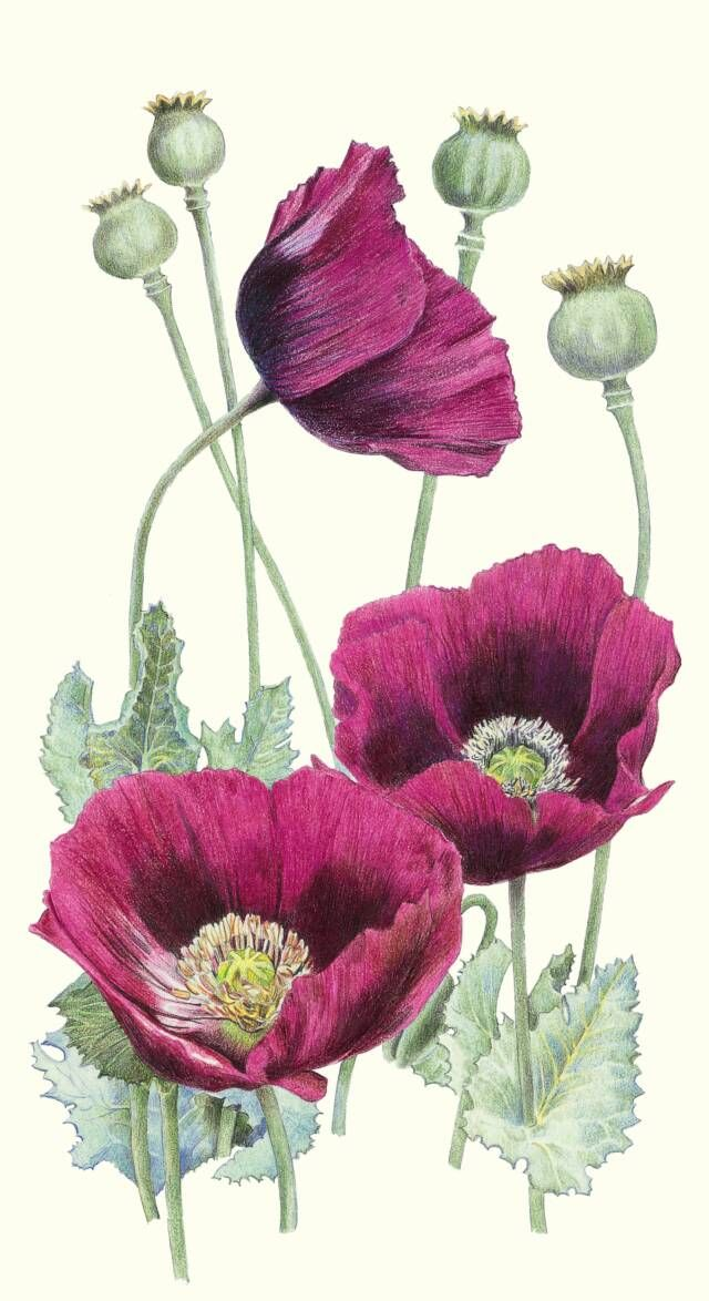 Drawn poppy oriental poppy Poppy scientific drawing favorite Best