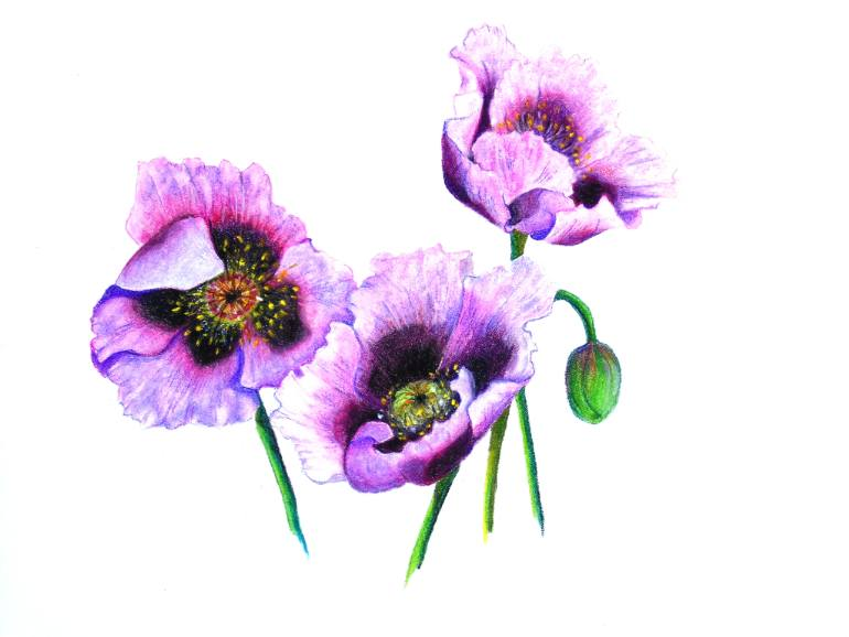 Drawn poppy oriental poppy POPPIES Art Artist Saatchi Art: