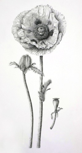 Drawn poppy oriental poppy Botanical Poppy by Oriental Vize