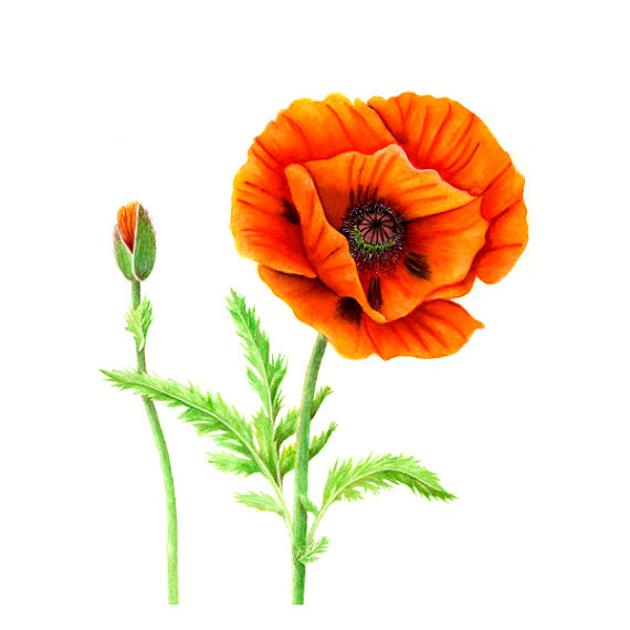 Drawn poppy oriental poppy Oriental Poppy Orange Poppy Oriental