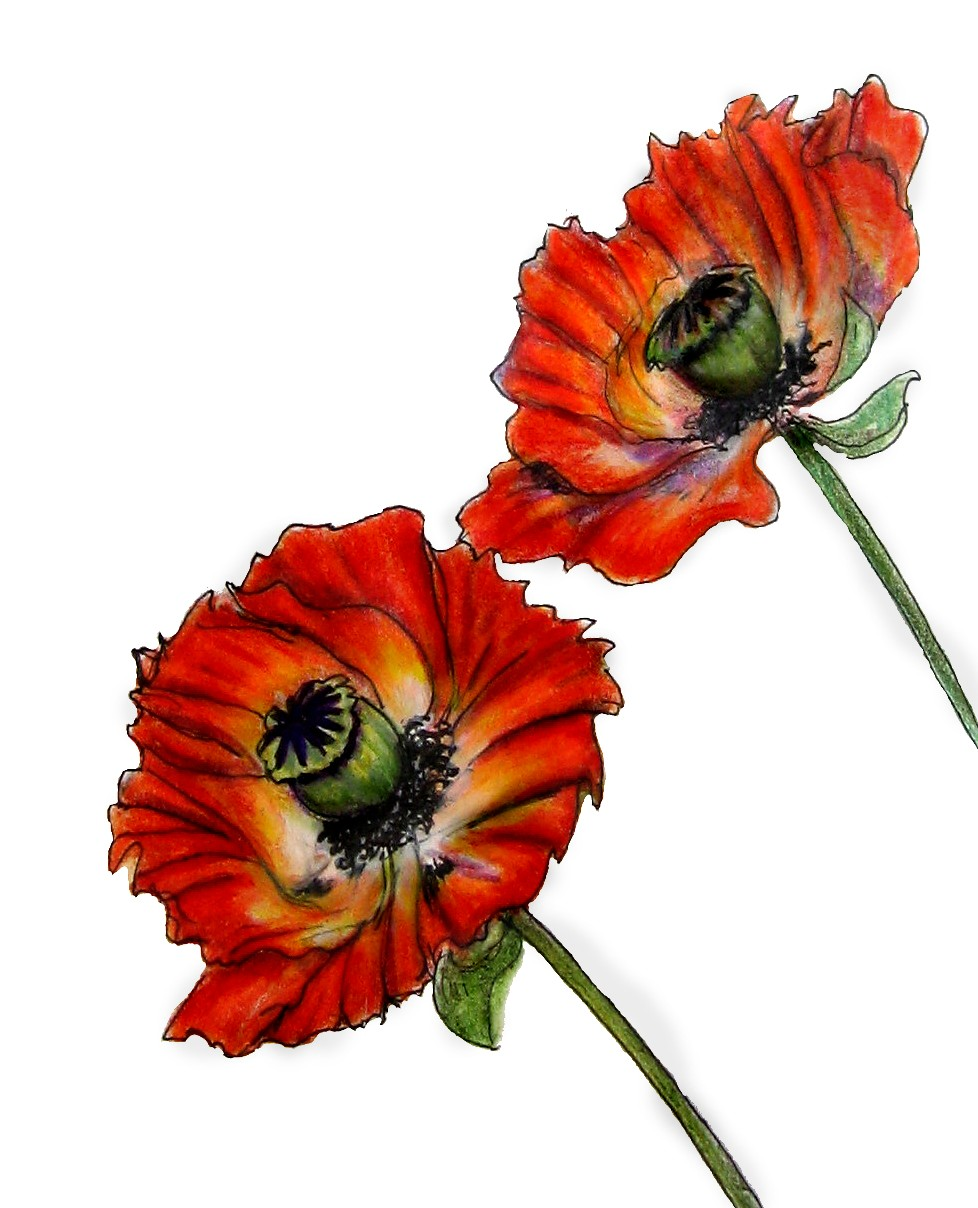 Drawn poppy oriental poppy Pair of A  See