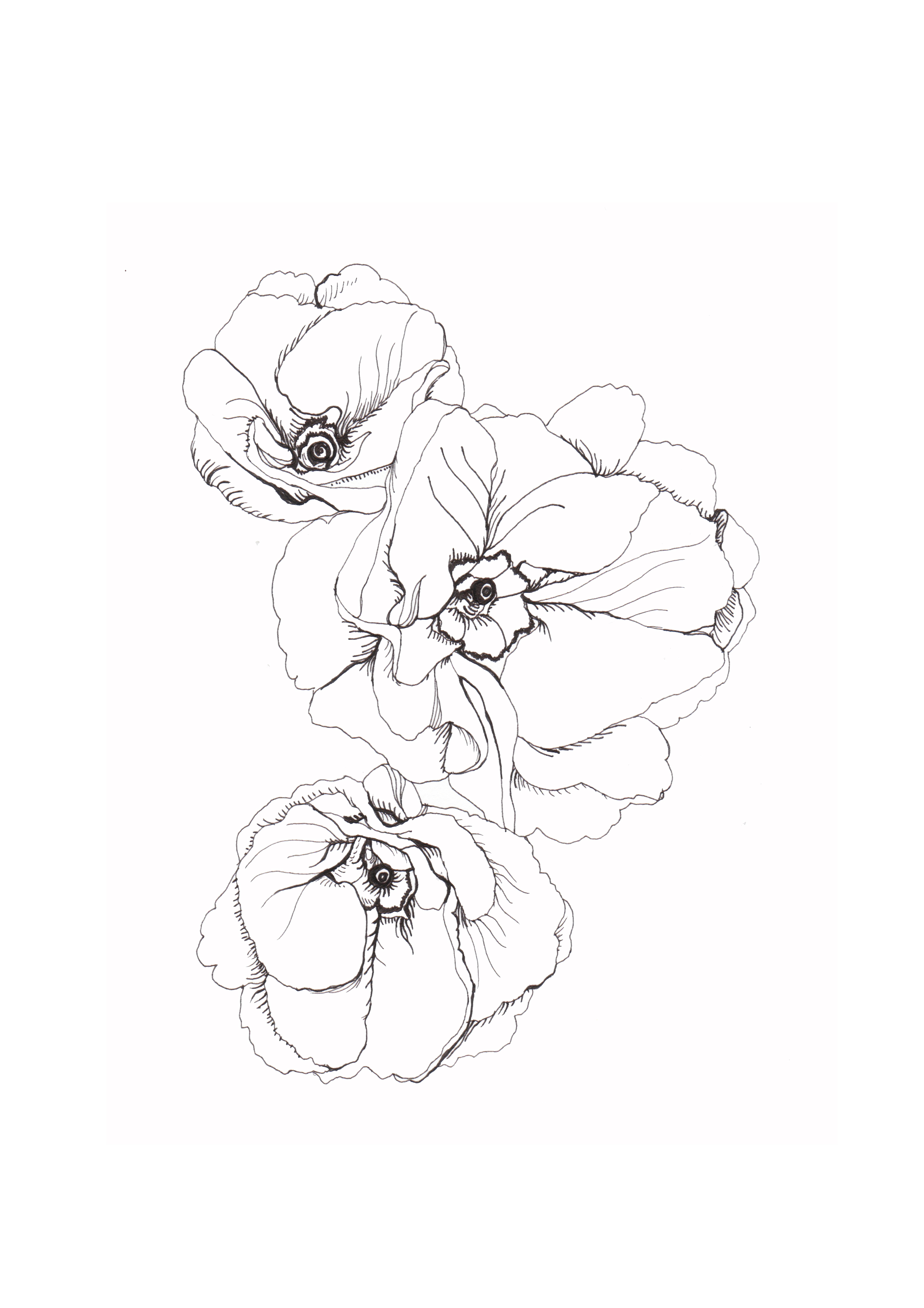 Drawn poppy outline Drawing drawings Botanical lines fine