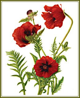 Drawn poppy painted Images best Flower Art on