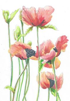 Drawn poppy painted Of drawing pictures how create