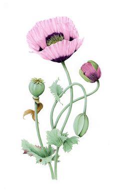 Drawn poppy papaver Somniferum About Flowers Opium