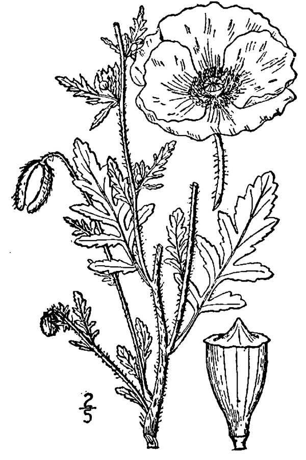 Drawn poppy papaver Line Large Papaver image rhoeas