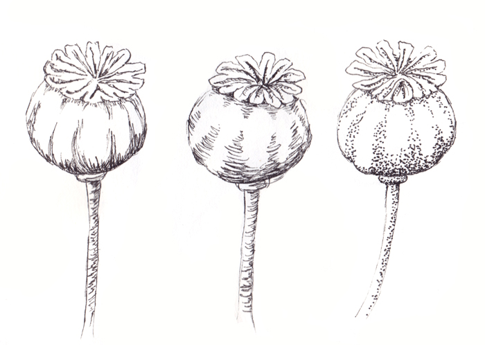 Drawn poppy papaver Poppies the Lieke street Blooming