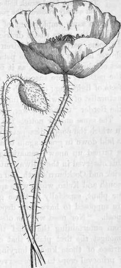 Drawn poppy papaver Image plants/ draw how poppy