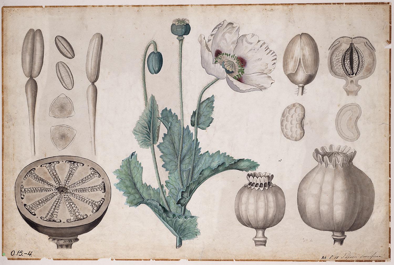 Drawn poppy papaver Poppy Opium Drawings Poppy (Papaver