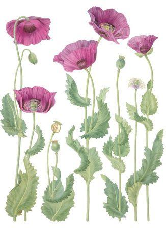 Drawn poppy papaver Gallery Drawing paperplay Opium Pinterest