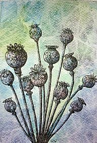 Drawn poppy pen and ink Seed  or drawings Pen