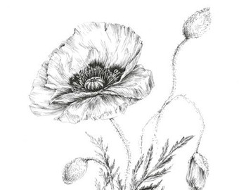 Drawn poppy pen and ink Drawing picture floral art picture