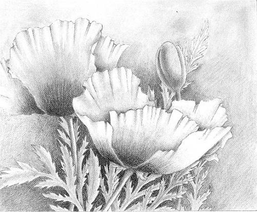 Drawn poppy pencil drawing Art to draw Search flowers